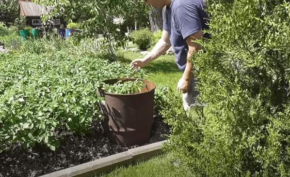 выращивание-картофеля-в-бочке-технология