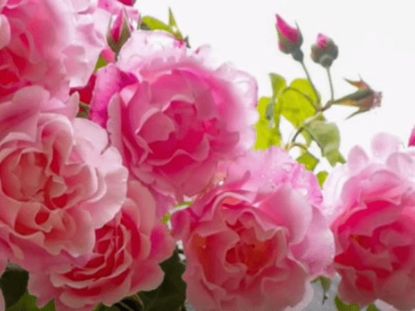 Пышная розовая роза