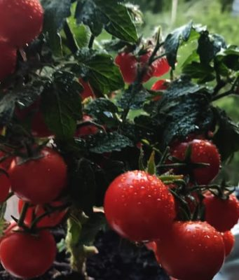 Выращивание помидор в кашпо.