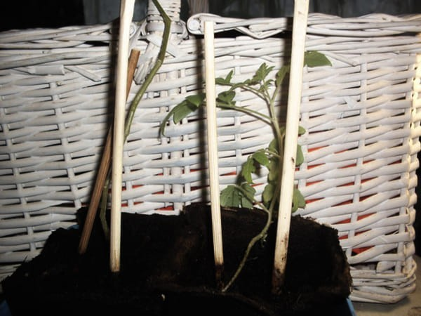 Выращивание томата красная шапочка в торфяных горшочках